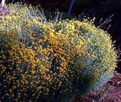 La poda de los arbustos ornamentales for Arbustos ornamentales de exterior